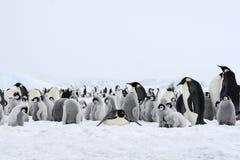 aptenodytes forsteri αυτοκρατόρων penguins Στοκ φωτογραφίες με δικαίωμα ελεύθερης χρήσης