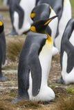aptenodytes patagonicus βασιλιάδων penguin Στοκ εικόνα με δικαίωμα ελεύθερης χρήσης