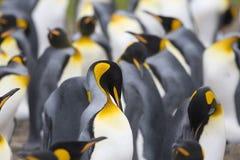 aptenodytes patagonicus βασιλιάδων penguins Στοκ εικόνα με δικαίωμα ελεύθερης χρήσης