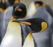 aptenodytes patagonicus βασιλιάδων penguins Στοκ Εικόνες