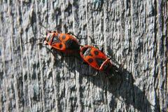 Apterus δύο ταξινομημένο κατά ζεύγος pyrrhocoris που σέρνεται στο δέντρο Στοκ Φωτογραφία