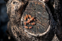 Apterus de Pyrrhocoris na madeira Fotografia de Stock Royalty Free