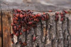 Apterus Pyrrhocoris ή bedbugs-στρατιώτες σε ένα δέντρο, κόκκινος-μαύροι κάνθαροι Στοκ Εικόνες