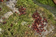 Apterus Pyrrhocoris Αποικία των κανθάρων Στοκ Φωτογραφία