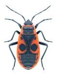 Apterus Pyrrhocoris ζωύφιου Στοκ Εικόνες