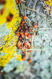 Apterus Pyrrhocoris Στοκ Φωτογραφίες