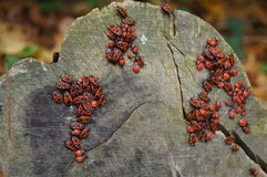 Apterus Pyrrhocoris Στοκ Εικόνες