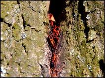 Apterus Pyrrhocoris Στοκ φωτογραφία με δικαίωμα ελεύθερης χρήσης