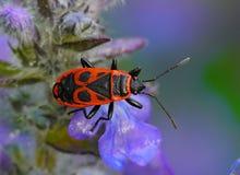 Apterus Pyrrhocoris, Firebug Στοκ Φωτογραφίες