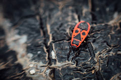 Apterus Pyrrhocoris firebug Στοκ φωτογραφία με δικαίωμα ελεύθερης χρήσης