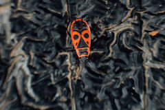 Apterus Pyrrhocoris firebug Στοκ φωτογραφίες με δικαίωμα ελεύθερης χρήσης