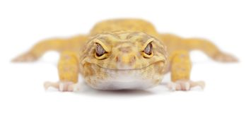 Aptor Leopard gecko, Eublepharis macularius. In front of white background royalty free stock images