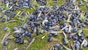 Apulia: cosecha verde oliva Imágenes de archivo libres de regalías