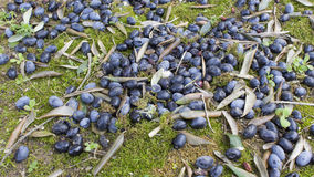 Apulien: olivgrüne Ernte Lizenzfreie Stockbilder