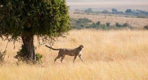 Apuntalar el guepardo Fotos de archivo libres de regalías