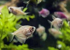 Aquário bonito com peixes Fotos de Stock Royalty Free