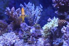 Aquário colorido da água salgada Foto de Stock