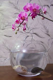 Aquário cor-de-rosa da orquídea e do aquário no fundo cinzento fotos de stock royalty free