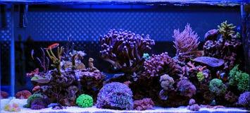 Aquário da água salgada, cena do tanque do recife de corais em casa imagens de stock