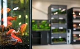 Aquário da loja de animais de estimação com peixe dourado Imagem de Stock Royalty Free