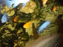 Aquário de água doce Fotografia de Stock Royalty Free