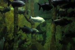 Aquário de Londres da vida marinha Imagens de Stock Royalty Free