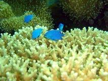 Aquário de peixes e do coral pequenos Fotografia de Stock Royalty Free