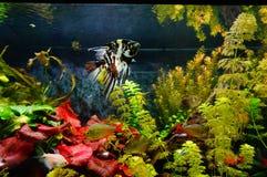 Aquário doce da água com peixes Imagens de Stock