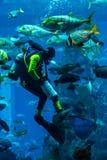 Aquário enorme em Dubai. Peixes de alimentação do mergulhador. Fotos de Stock