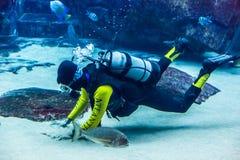 Aquário enorme em Dubai. Peixes de alimentação do mergulhador. Foto de Stock