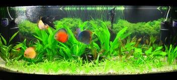 Aquário Home com peixes e plantas do disco Foto de Stock