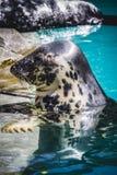 Aquático, selo que descansa no sol na água Imagens de Stock Royalty Free