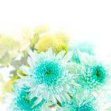 Aqua gerbera flower Stock Photos