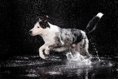 Aqua studio, border collie on the dark background with rain Stock Photo