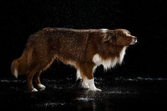 Aqua studio, border collie on the dark background with rain royalty free stock photography