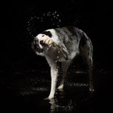 Aqua studio, border collie on the dark background with rain Royalty Free Stock Images