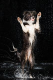 Aqua studio, border collie on the dark background with rain Stock Photos