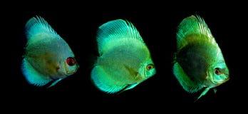 Aquaarium fish. Cichlidae family Stock Photography