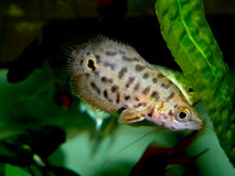 Aquaarium fisk Anabantoidae familj Arkivbilder