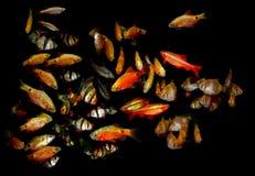 Aquaarium fisk Barbus/Capoeta Arkivfoton