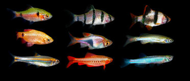 Aquaarium fisk Barbus/Capoeta Royaltyfri Foto