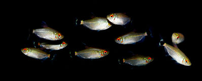 Aquaarium fisk Characidaefamilj Royaltyfri Fotografi