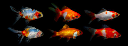 Aquaarium fisk guldfisk Royaltyfri Bild