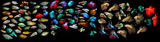 Aquaarium ryba Anabantoidae rodzina fotografia royalty free