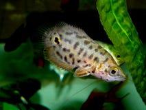Aquaariumvissen Anabantoidaefamilie Stock Afbeeldingen