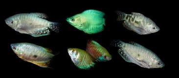 Aquaariumvissen Anabantoidaefamilie Royalty-vrije Stock Foto's