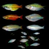 Aquaariumvissen Anabantoidaefamilie Royalty-vrije Stock Fotografie