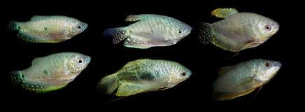 Aquaariumvissen Anabantoidaefamilie Stock Foto's