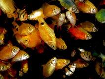 Aquaariumvissen Barbus/Capoeta Royalty-vrije Stock Afbeeldingen