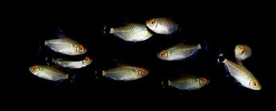 Aquaariumvissen Characidaefamilie Royalty-vrije Stock Fotografie